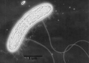 G.metallidreducens